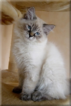 Siberian cats have a gentle,